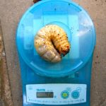 カブトムシ幼虫のジャンボサイズです。