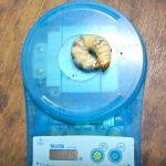 ダイトウヒラタクワガタ15グラムの大型幼虫が出てきました。