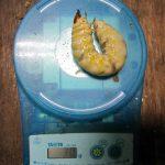 国産オオクワガタの幼虫の30gが出てきました。(2013年2月6日)