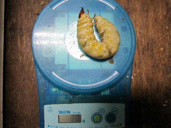 オオクワガタの幼虫30g