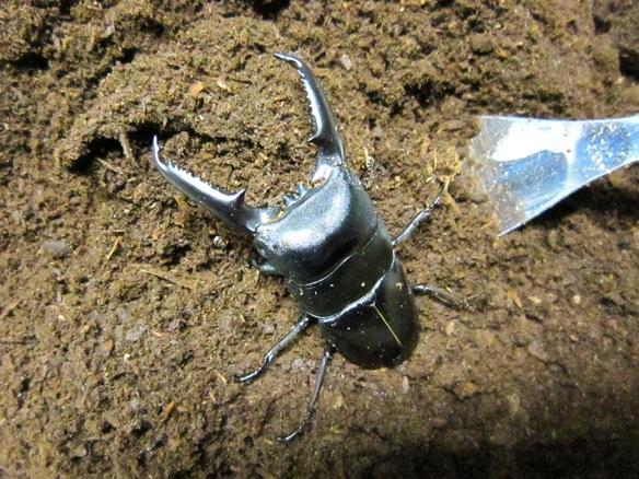 ツシマヒラタクワガタ大型個体