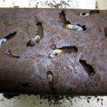 2013年秋の国産ノコギリクワガタの産卵セットの割り出し!