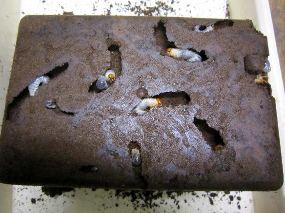 ノコギリクワガタの幼虫