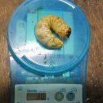 国産オオクワガタ幼虫の30gです。(2013年10月10日)