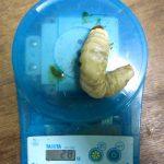 イキヒラタクワガタの大型幼虫です(2013年10月15日)