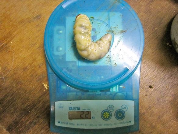 タカラヒラタクワガタの幼虫