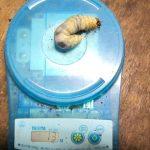 国産ノコギリクワガタの幼虫のマット交換です。【2014年2月6日】