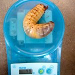 国産カブトムシの巨大幼虫が出てきました。【2014年3月19日】