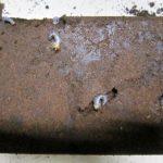 2014年秋の本土ヒラタクワガタの幼虫の割り出し