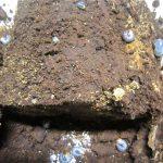 2014年秋のアマミノコギリクワガタの産卵セット割り出し