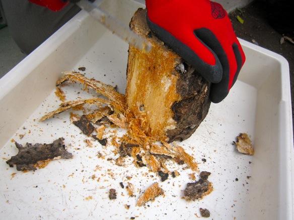 水切りした朽ち木の皮むき
