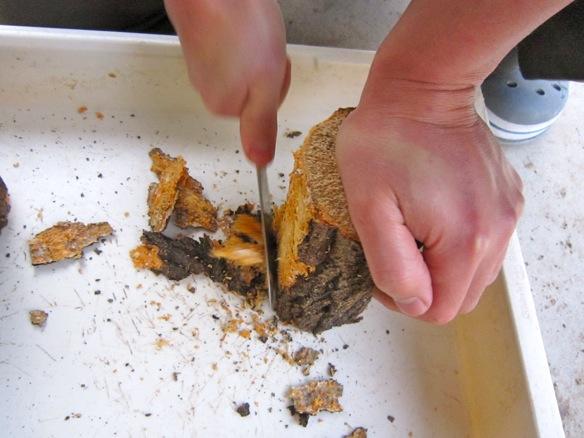 コクワガタの産卵木の樹皮を剥がしています