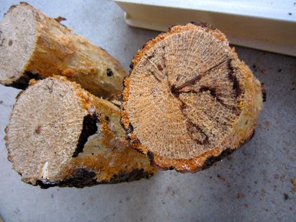 半分だけ樹皮を剥がしたコクワガタ用の産卵木
