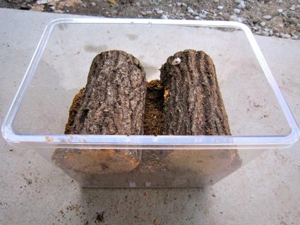 コクワガタの産卵木をBeケースに入れます。