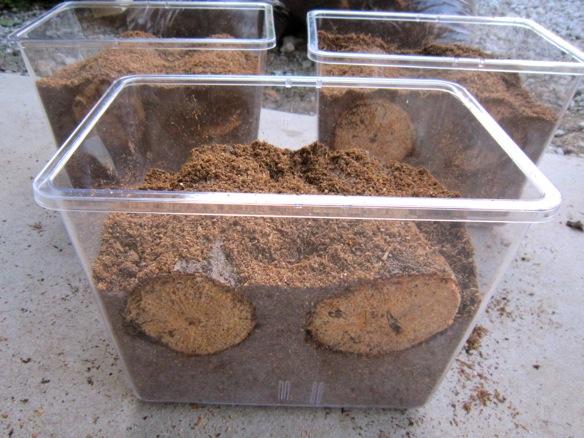 コクワガタの産卵セット