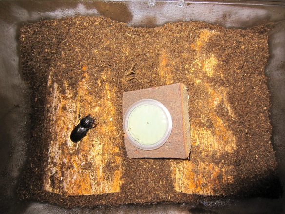産卵セットにアマミシカクワガタのメスを投入します