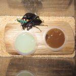 クチノエラブノコギリクワガタの産卵セット(産卵方法)