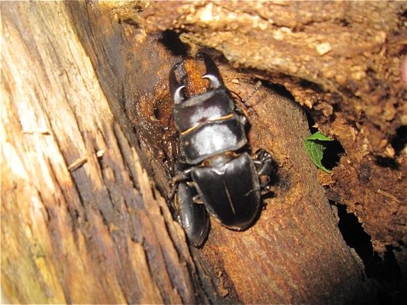 樹洞に隠れる大型のヒラタクワガタのペア