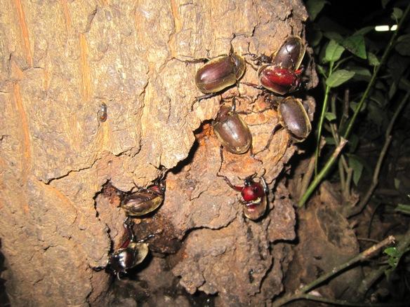 カブトムシの群れ