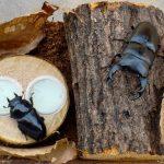 オオクワガタの産卵セット(産卵木のセット方法)