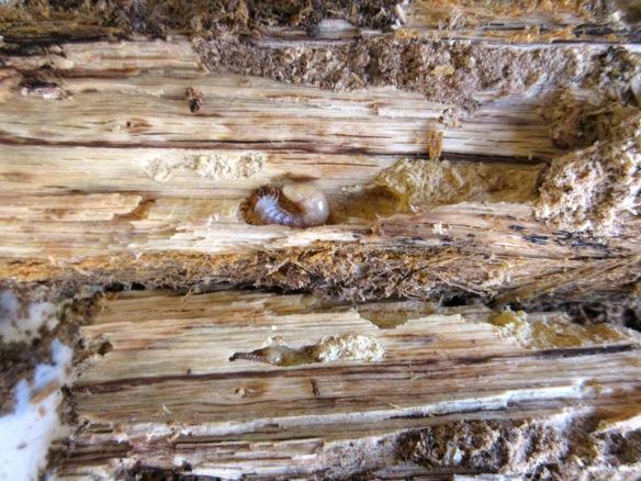朽ち木から出て来た幼虫