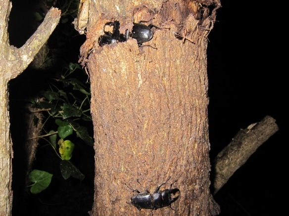 樹洞を争う本土ヒラタのオス
