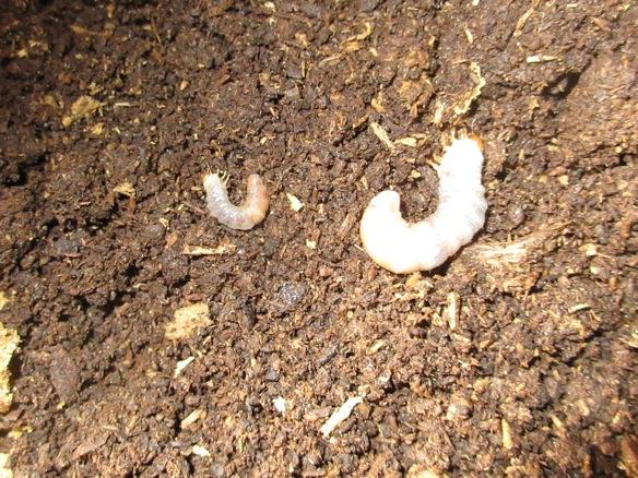 タカラヒラタの初齢幼虫と二齢幼虫