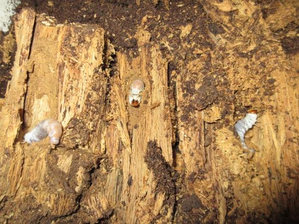 朽ち木からも幼虫が出て来ました