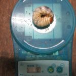 クロシマノコギリ16グラムなど離島産の幼虫のエサ交換