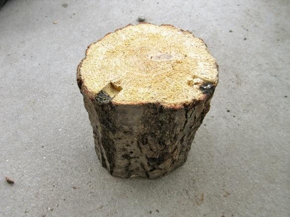 コナラ産卵木