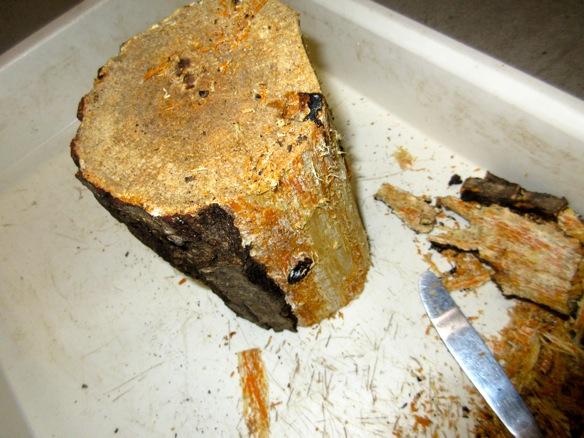 樹皮を半分だけ剥がした状態です