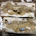 アマミコクワの産卵木の割り出しとコクワガタ幼虫のエサ交換