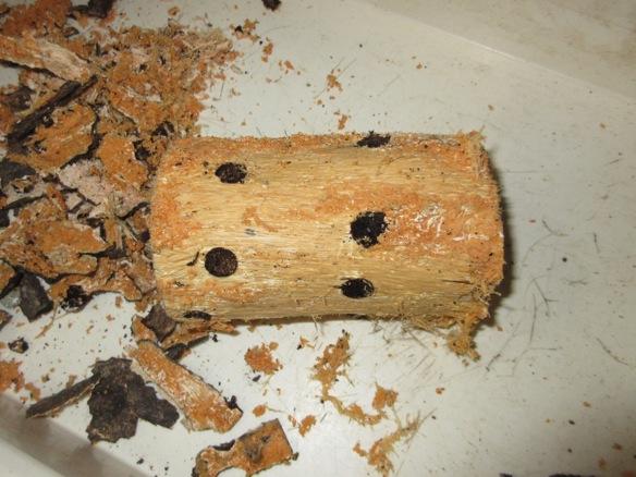 産卵木の樹皮を完全に剥がした様子
