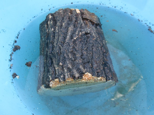 加水が完了した産卵木