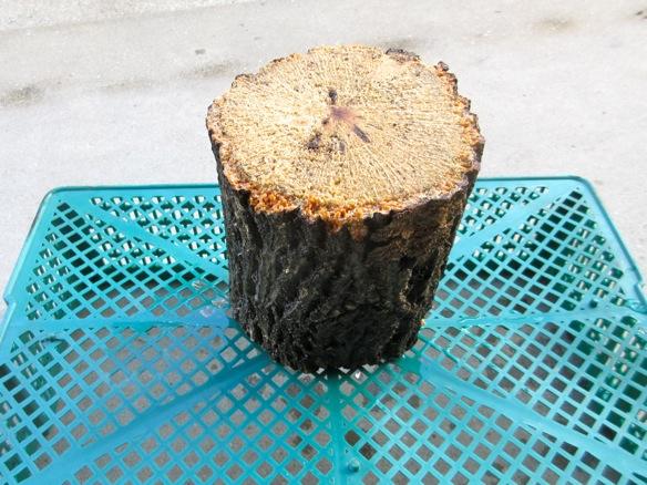 産卵木を日陰で干します