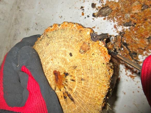 産卵木の樹皮を剥がします