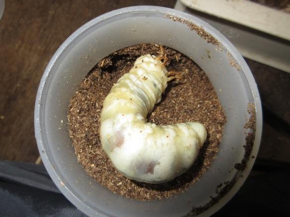 マット飼育へ切り替えた本土ヒラタの幼虫