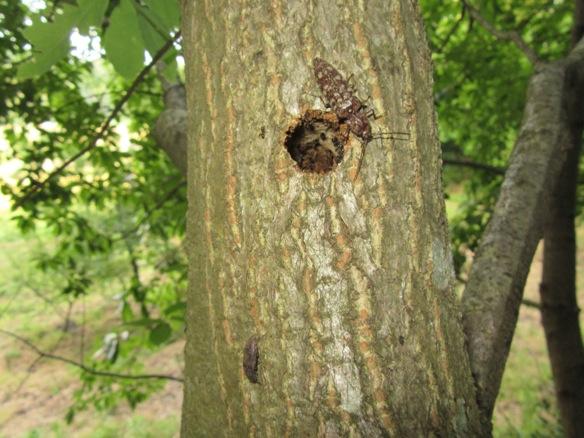 樹液に集まるヒゲコメツキ