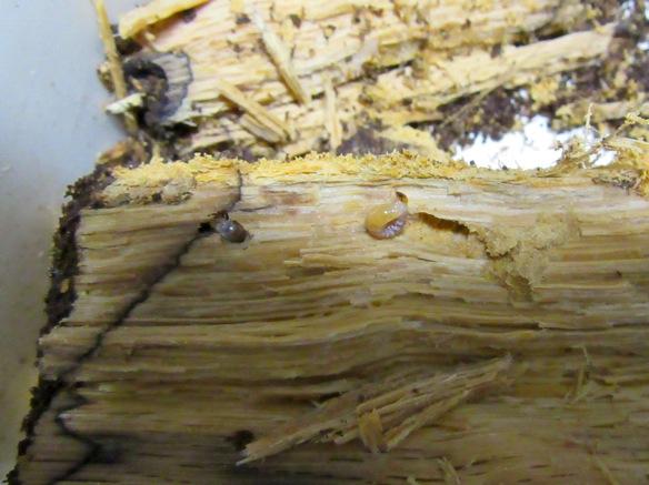 芯の付近から出て来たタカラヒラタクワガタの幼虫