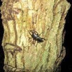 昨晩のコクワ、ヒラタ採集とカブトムシの蛹化