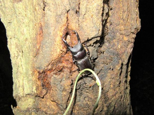 クリの木の樹液を吸うコクワガタです。