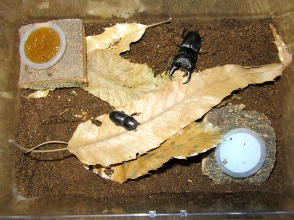 屋久島産ヒラタの産卵時の飼育例
