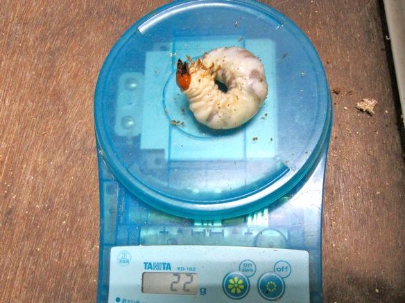 タカラヒラタクワガタの幼虫22グラム