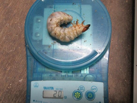 本土ヒラタクワガタの幼虫20グラム