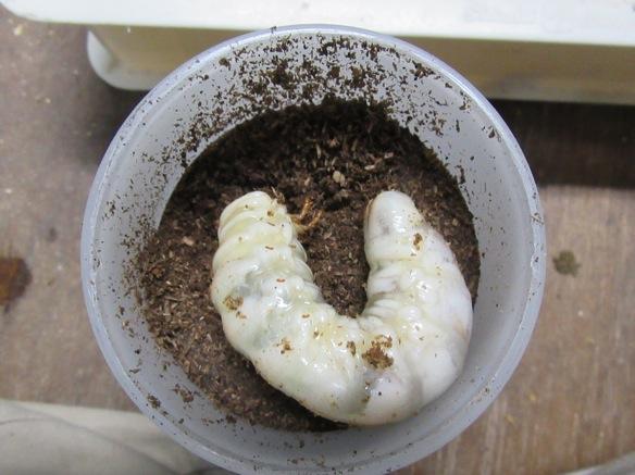 マットボトル850ccに入れた本土ヒラタクワガタの幼虫