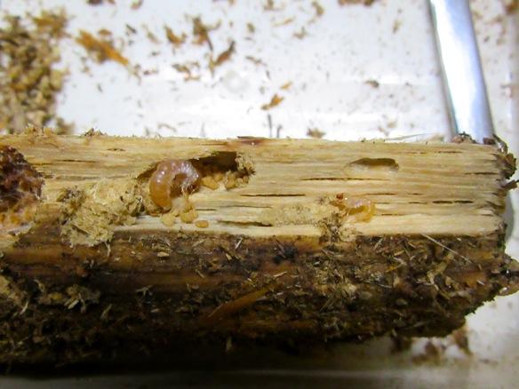 ヤクシマスジクワガタの幼虫