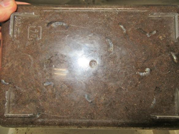 クロシマノコギリの産卵セットの底