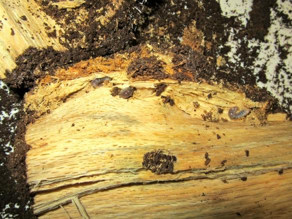 朽ち木から出て来たタカラヒラタクワガタの幼虫です。