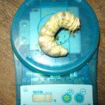 国産オオクワガタ幼虫の菌糸ビン交換の様子(30グラムオーバー)