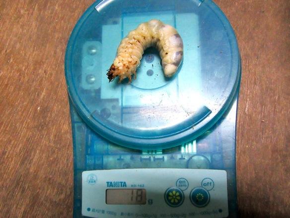 クロシマノコギリクワガタの幼虫18g